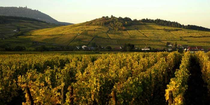 Weinvorteil Rebsorten